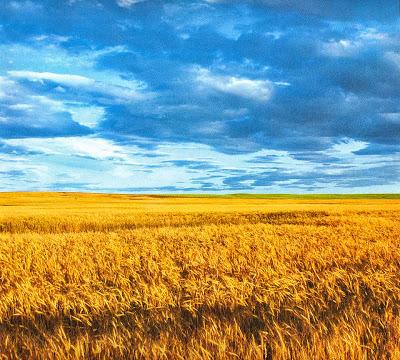 Колосящиеся желтые хлеба на фоне синего неба напоминают флаг Украины