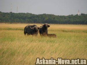 """Асканійські"" кафрські буйволи"