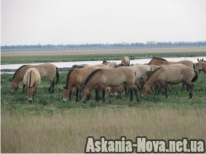 Коні Пржевальського на Великому Чапельському поді