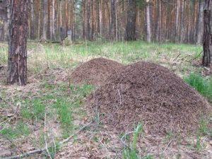 """Велика кількість мурашників свідчить,що екосистема нестабільна: якщо їхбагато, то багато і поживи для мурах -в першу чергу, рослиноїдних комах,які в великій кількості просто """"виїдають"""" рослини (що й помітно по найближчійсосні - враженій короїдами)."""
