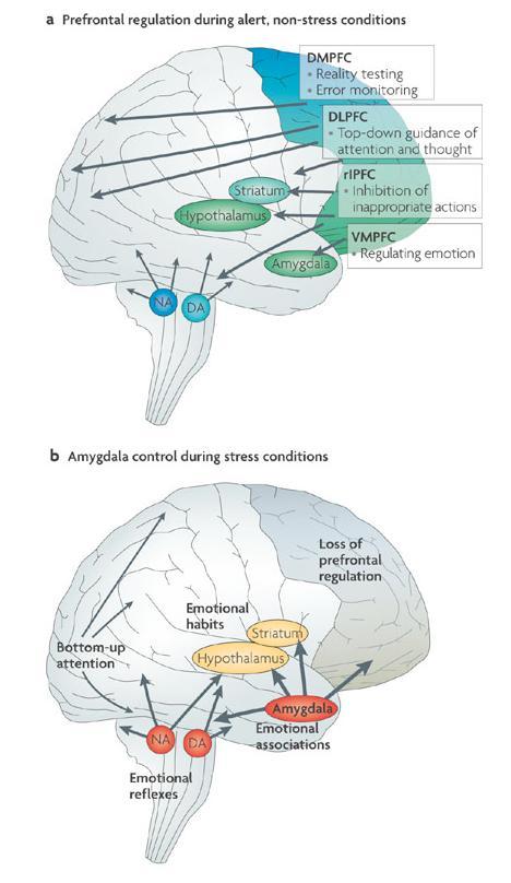 """Реакція на тривожне повідомлення (згори – мозок в спокої, знизу – в стані стресу) В другому випадку в аналізі ситуації задіяні лише ділянки префронтальної кори, функції яких так чи інакше зводяться до прийняття швидких рішень під сильним емоційним впливом, часто – з """"моральним"""" контекстом. (ventromedial prefrontal cortex). Решта префронтальної кори фактично не задіяні в прийнятті рішень; гіперактивація amygdala сприяє встановленню і закріпленню """"емоційних"""" асоціативних зв'язків, за яких асоційовані поняття не обов'язково можуть мати між собою логічний зв'язок. (джерело - http://www.nature.com/nrn/journal/v10/n6/box/nrn2648_BX1.html)"""