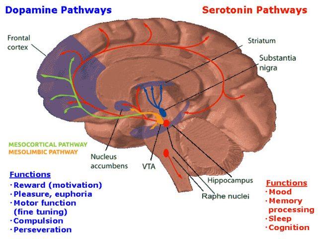 Схематичне зображення серотонінового і допамінових шляхів (окремо виділені мезолімбічний і мезокортикальний допамінові шляхи)